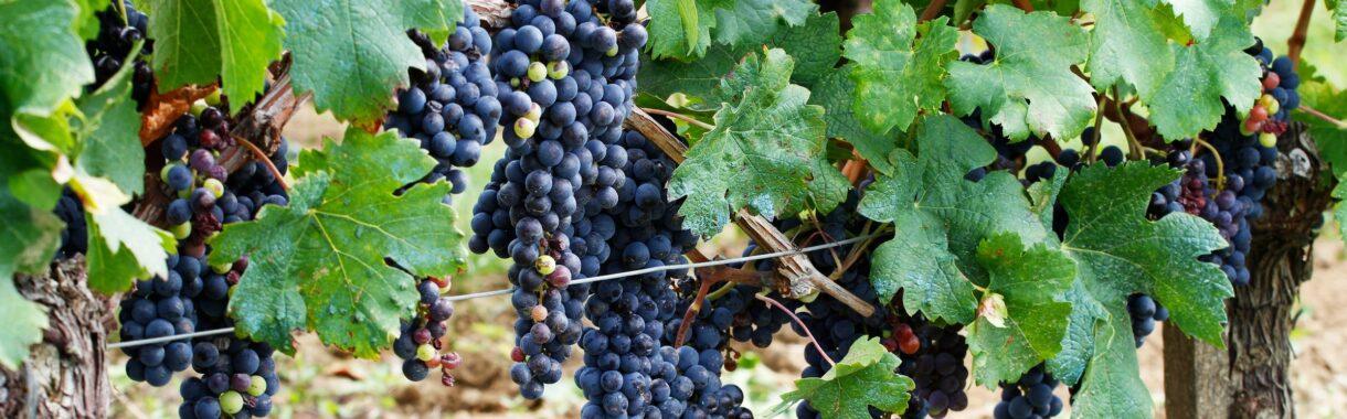 vindruer på vinmark