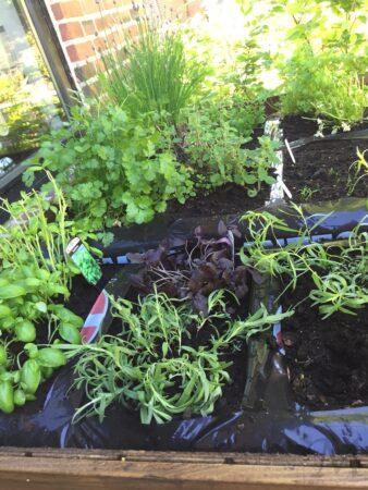 plant krydderurter i plantekasse